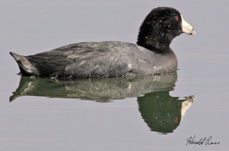 An American Coot taken Jan 25, 2010 in Phoenix, AZ.