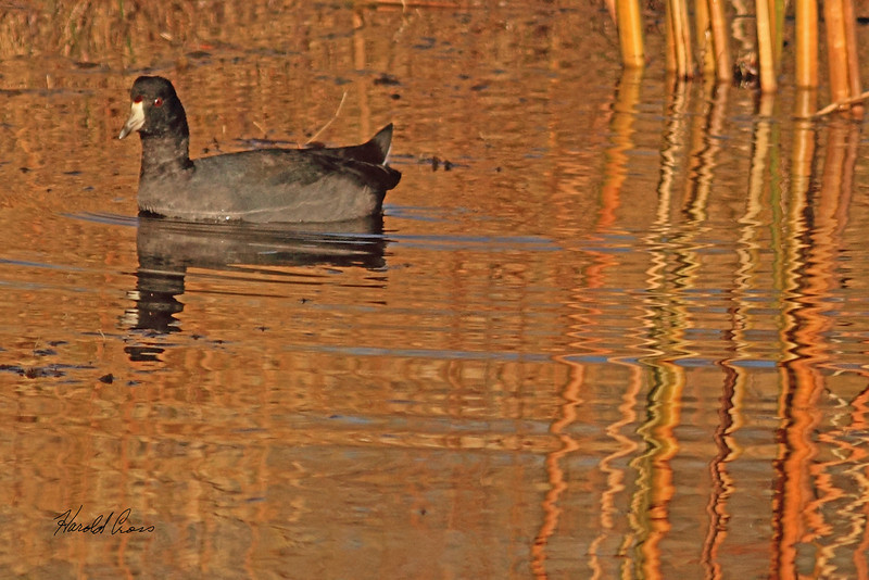 An American Coot taken Nov. 4., 2010 in Grand Junction, CO.