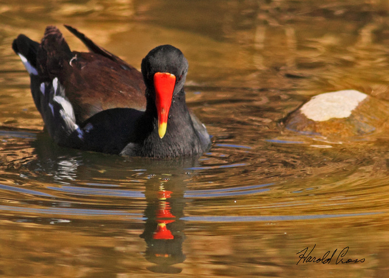 A Common Moorhen taken Feb 13, 2010 in Phoenix, AZ.