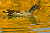 A Common Moorhen taken Feb. 13, 2010 in Phoenix, AZ.