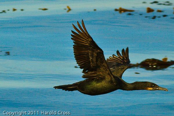 A Brandt's Cormorant taken Sep. 28, 2011 in Monterey, CA.