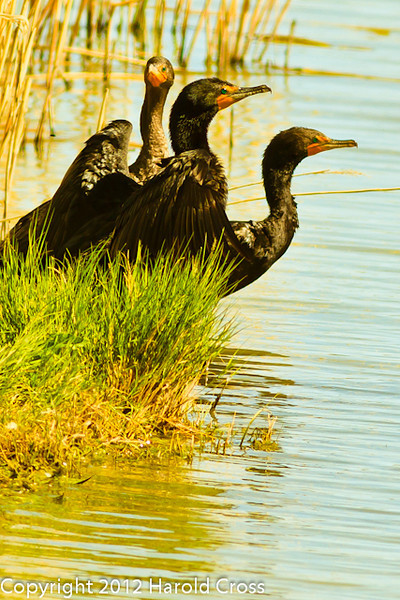 Double-crested Cormorants taken June 12, 2012 near Brigham City, UT.
