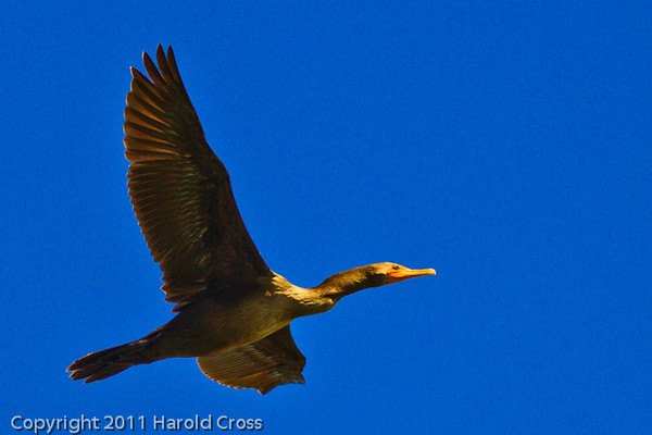 A Double-crested Cormorant taken Oct. 1, 2011 near Los Angeles, CA.