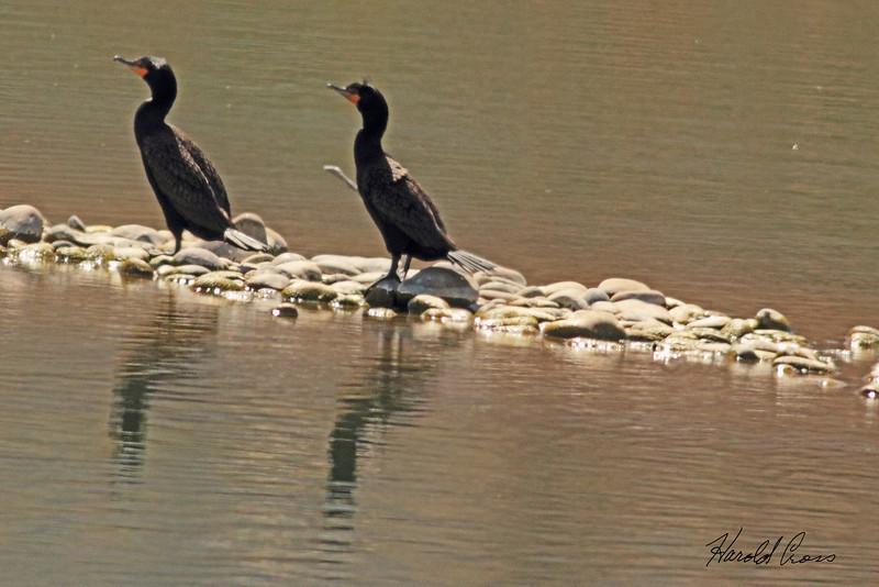 Double Crested Cormorants taken Mar. 31, 2011 in Fruita, CO.