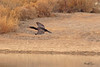 A Double-crested Cormorant taken Mar 24, 2010 near Fruita, CO.