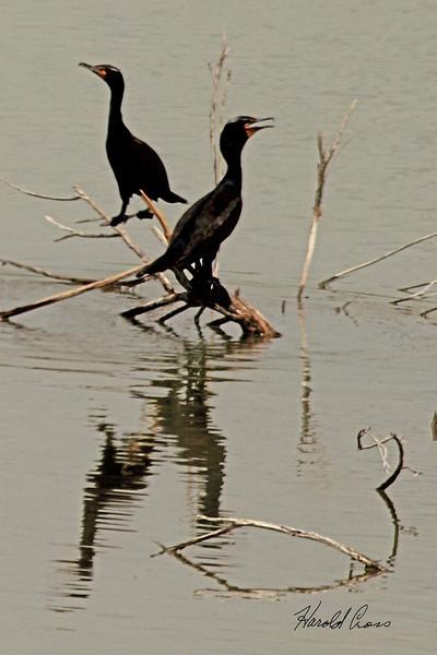 Double-crested Cormorants taken April 13, 2011 near Fruita, CO.