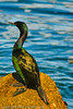 A Neotropic Cormorant taken Sep. 28, 2011 in Monterey, CA.