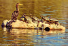 A Neotropic Cormorant and turtles taken Feb. 25, 2012 in Tucson, AZ.