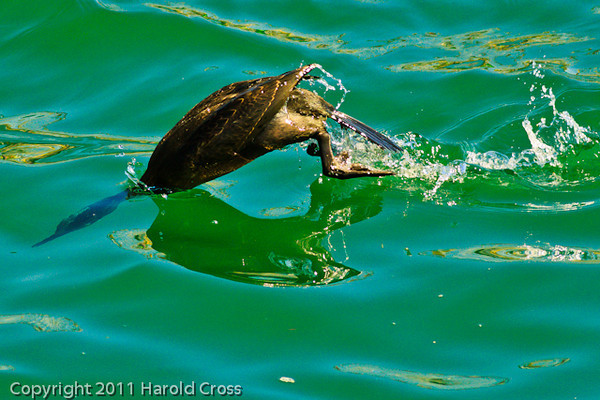 A Pelagic Cormorant taken Oct. 1, 2011 near Los Angeles, CA.