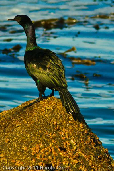 A Pelagic Cormorant taken Sep. 28, 2011 in Monterey, CA.