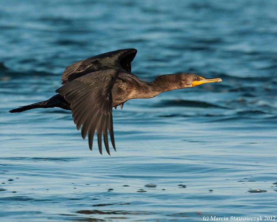 Cormorant over the sea