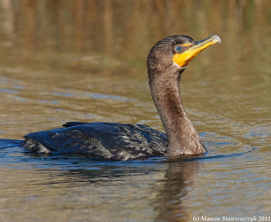 Approaching cormorant