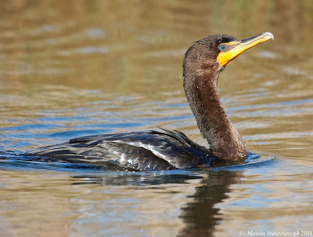 Right profile of the cormorant