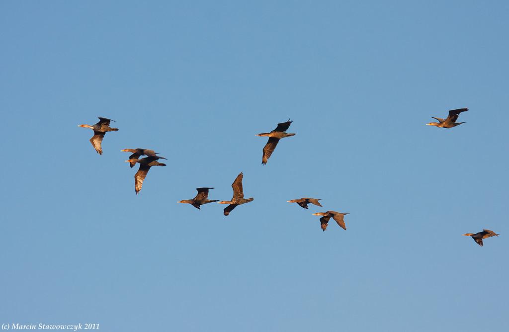 Flying cormorants
