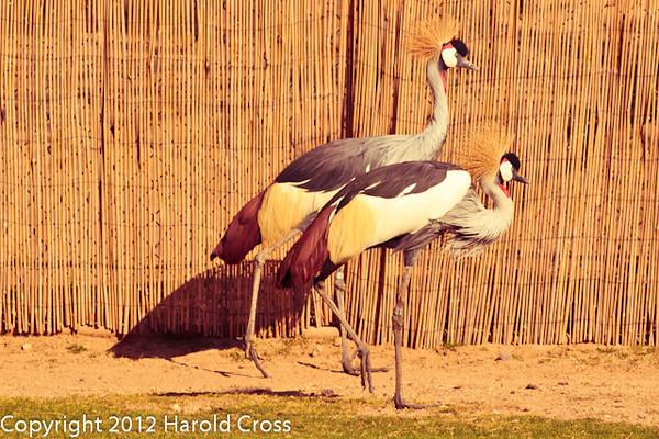 African Crowned Cranes taken Feb. 20, 2012 in Tucson, AZ.