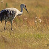 A Sandhill Crane taken Sep 23, 2010 near Bozeman, MT.