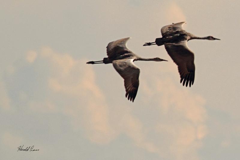Sandhill Cranes taken Oct. 7, 2010 near Monte Vista, CO.