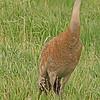 A Sandhill Crane taken May 26, 2010 near Bozeman, MT.