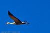 A Sandhill Crane taken Nov. 1, 2011 near Roswell, NM.