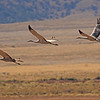 Sandhill Cranes taken Oct. 7, 2010 near Monte Vista, CO.