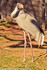 A Sarus Crane taken Feb. 22, 2012 in Tucson, AZ.