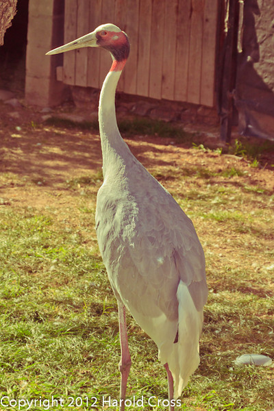 A Sarus Crane taken Feb. 20, 2012 in Tucson, AZ.