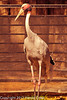 A Sarus Crane taken Feb. 21, 2012 in Tucson, AZ.