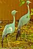 Stanley Cranes taken July 19, 2012 in Albuquerque, NM.