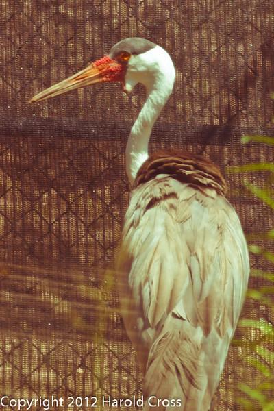 A Wattled Crane taken July 19, 2012 in Albuquerque, NM.