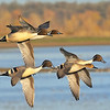 Courtship Flight Northern Pintails at Llano Seco NWR<br /> Ducks Unlimited Photo Contest Best Overall Winner 2013
