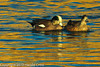 American Wigeons taken Jan. 9, 2012 in Grand Junction, CO.