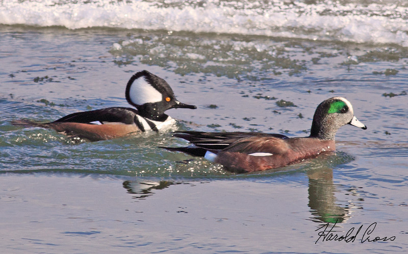 A Hooded Merganser and an American Widgeon taken Jan 1, 2010 in Grand Junction, CO.