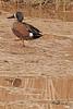 A Blue-winged Teal taken April 13, 2011 near Fruita, CO.