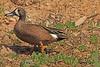 A Blue-winged Teal taken April 28, 2011 near Fruita, CO.
