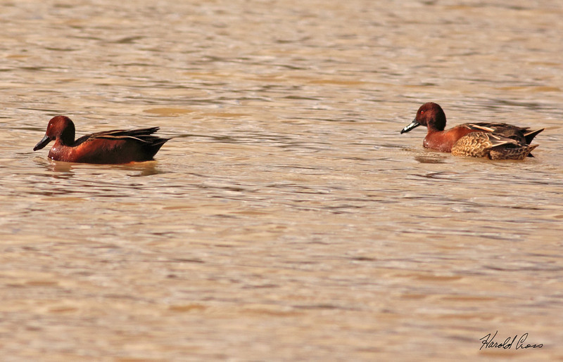 A pair of Cinnamon Teal ducks taken Feb 6, 2010 in Gilbert, AZ.
