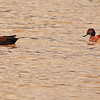 A pair of Cinnamon Teal ducks taken Feb 6, 2010 in Gilbert, AZ.