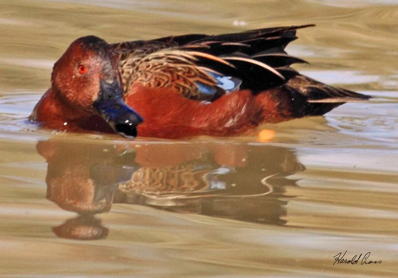 A Cinnamon Teal duck taken Feb 8, 2010 in Gilbert, AZ.