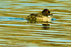 A Common Goldeneye taken Nov. 29, 2011 near Fruita, CO.