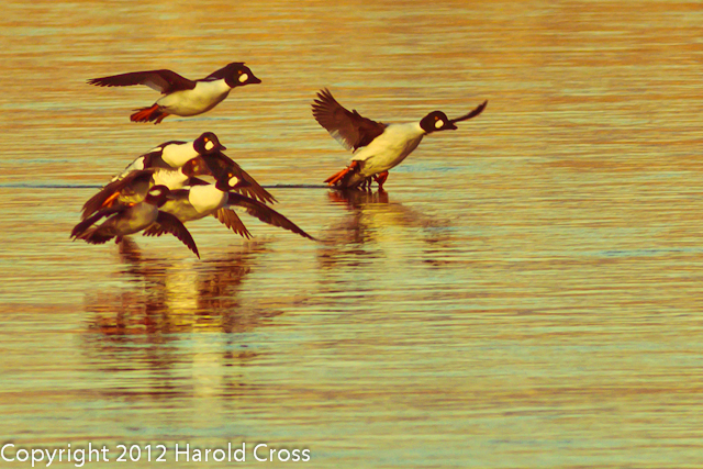 Common Goldeneyes taken Jan. 24, 2012 in Grand Junction, CO.