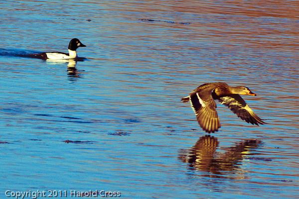 A Mallard and a Common Goldeneye taken Dec. 23, 2011 in Grand Junction, CO.