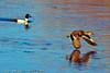 A Mallard and a Common Goldeneye taken Dec. 23, 2011 in Grand Junction, CO.