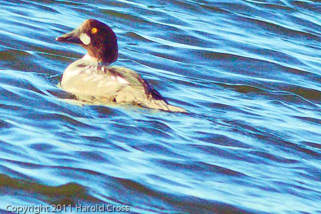 A Common Goldeneye taken Jan. 12, 2012 in  Fruita, CO.