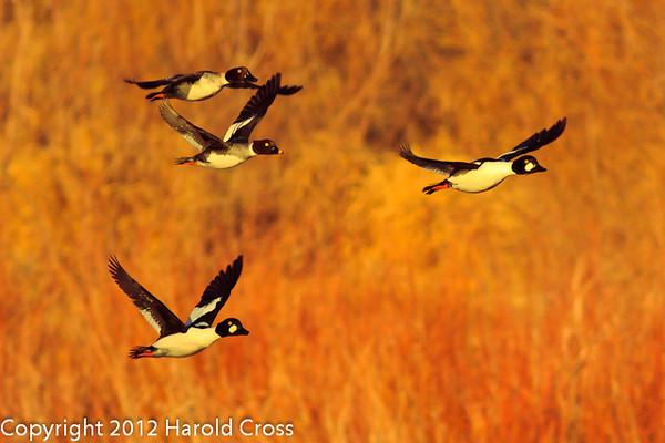 Common Goldeneyes taken Jan. 24, 2012 in Grand Junction, CO.