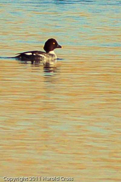 A Common Goldeneye taken Nov. 3, 2011 near Fruita, CO.