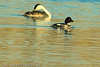 A Common Goldeneye and a Western Grebe taken Nov. 3, 2011 near Fruita, CO.