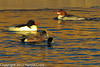An American Coot, American Wigeon, and Common Mergansers taken Jan. 9, 2012 in Grand Junction, CO.