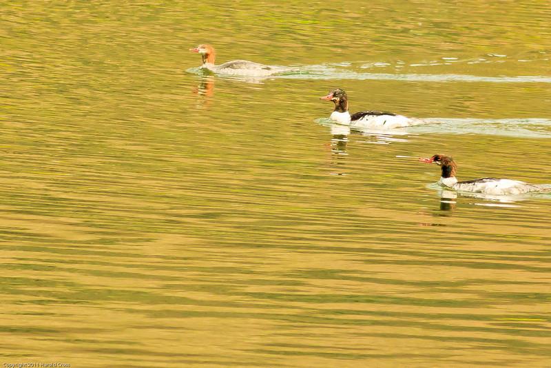 Common Mergansers taken July 13, 2011 near Gunnison, CO.
