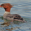 A Common Merganser taken Mar. 14, 2011 in  Fruita, CO.