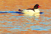 A Common Merganser taken Dec. 23, 2011 in Grand Junction, CO.