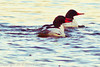 Common Mergansers taken Jan. 9, 2012 in Grand Junction, CO.